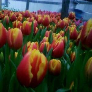 Тюльпаны оптом и в розницу к 8 марта