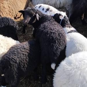 Продам баранину (баранов,  ягнят) мясной породы на мясо