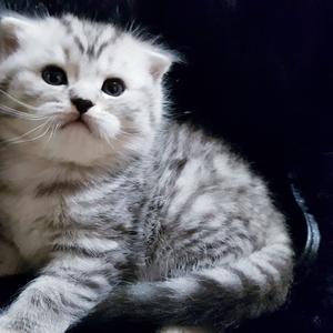 Котики и кошечки/шотландские в серебристых шубках.