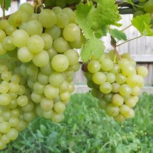 Саженцы винограда киш-миш,  Красотка,  Атос,  Антошка и др
