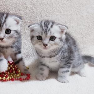 Вислоухие и прямоухие шотландские котята.