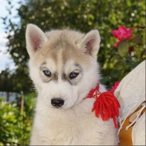 Шикарные щенки сибирский хаски от чемпионов