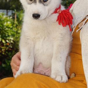 Продам Шикарные щенки сибирский хаски от чемпионов