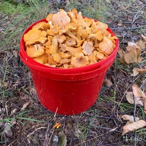 гриб Лисичка 10 литров ведро за 20руб. Зеленый Луг