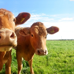 Купим говядину,  конину. Также скупаем КРС,  лошадей живым весом
