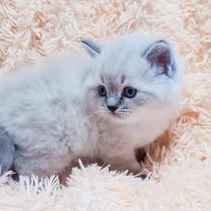 Котята,  редких окрасов, шотландские