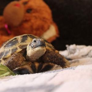 Здоровая сухопутная черепаха ищет ответственного,  заботливого хозяина