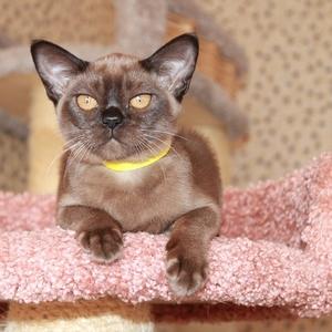 Европейская бурма. Бурманские котята.